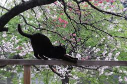 800px-Stretching_black_cat_on_a_railing_and_cherry_blossom_trees-Hisashi-01