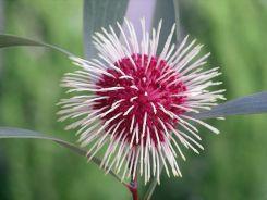 1024px-20070521_Pincushion_Hakea_Flower