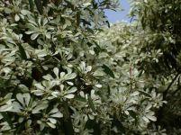 1024px-Euphorbia_leucocephala_closeup