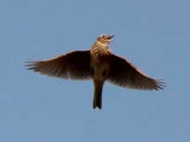 Alauda_arvensis_japonica_in_flight